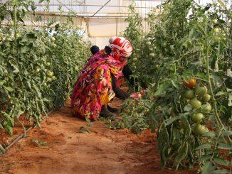 agricultora-saharaui-tomate-el-diariosolidario